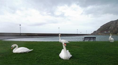 Boating Lake swans West Shore Llandudno North Wales