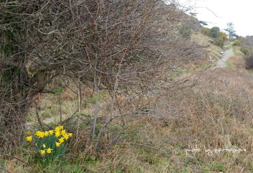 Daffodils Llandudno