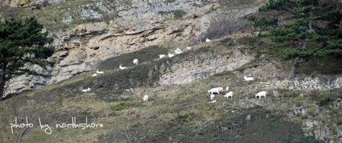 Great Orme goats Llandudno
