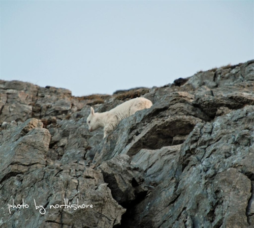 Picture of a Great Orme goat