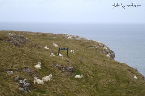 Picture of Wild Goats on the Great Orme Llandudno