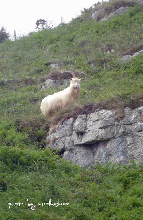 Picture of Great Orme goat Llandudno