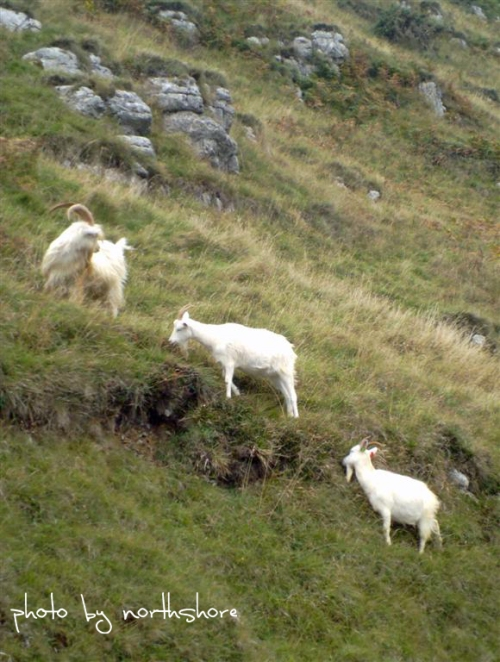 Picture of Great Orme goats Llandudno