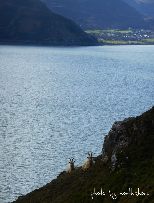 Great-Orme-goats