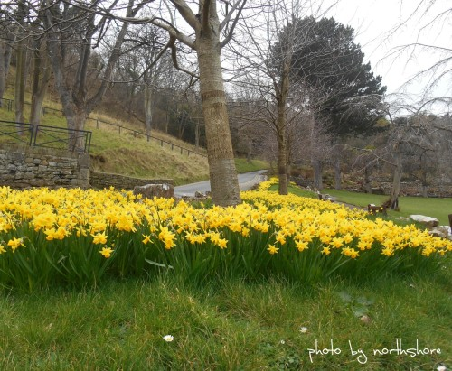 Happy Valley Daffodils March 2014 (Large)