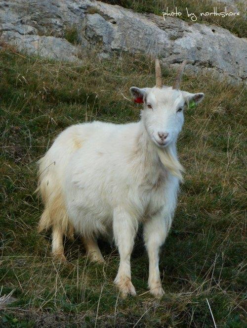 Great-Orme-goat-Llandudno