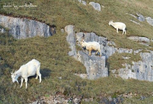 Great-Orme-goats-Llandudno