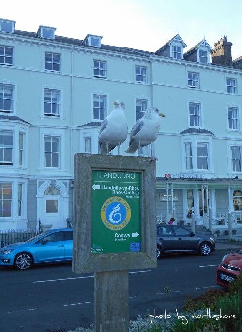 Llandudno-seagulls